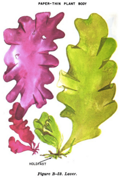 laver seaweed illustration edible plants
