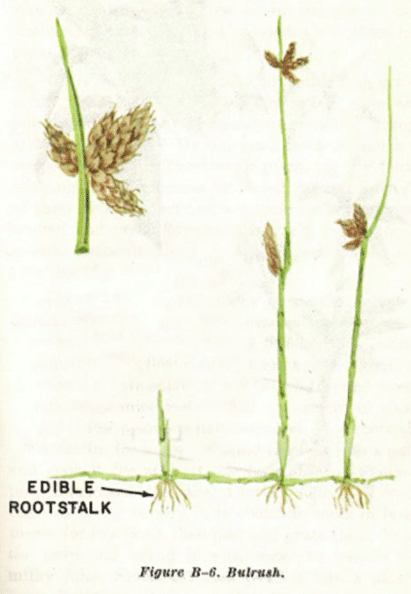 bulrush illustration edible plants