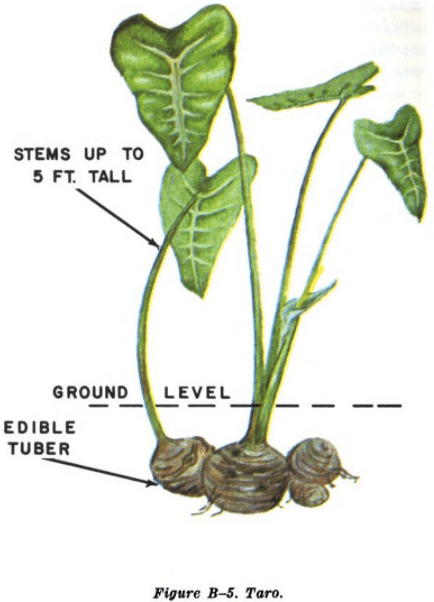 taro root tuber illustration edible plants