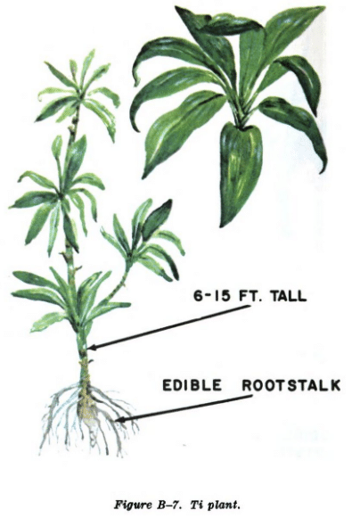 ti plant illustration edible plants