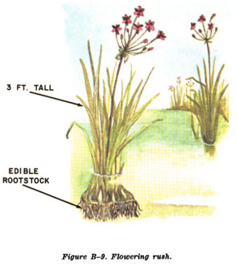 flowering rush illustration edible plants