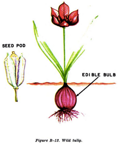 wild tulip illustration edible plants