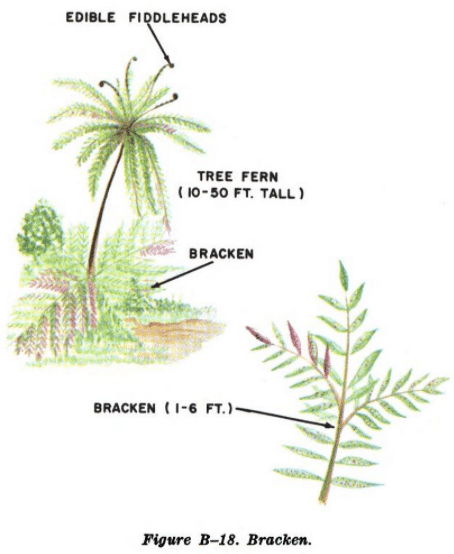 bracken illustration edible plants