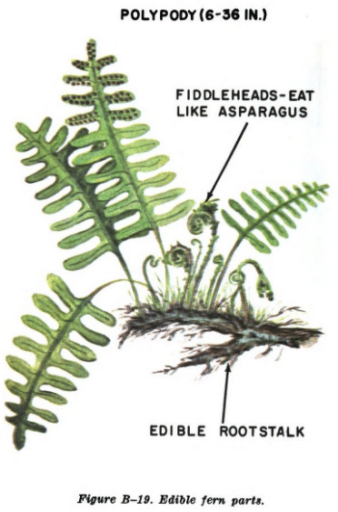 fern illustration edible plants