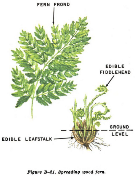 spreading wood fern illustration edible plants