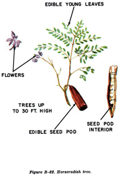 horseradish tree illustration edible plants