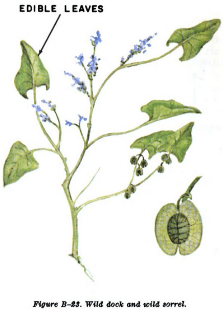 wild dock and sorrel illustration edible plants