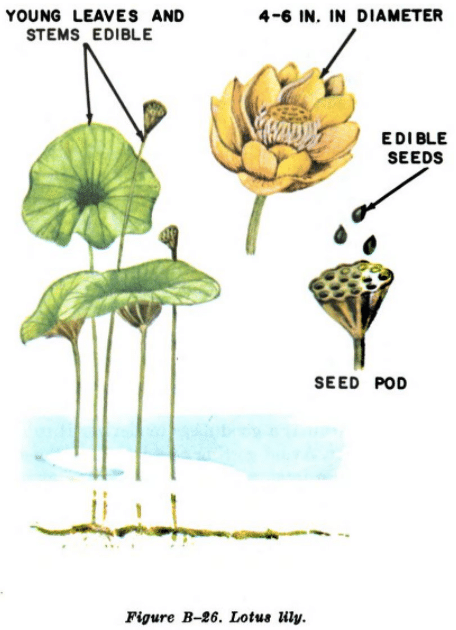lotus lily illustration edible plants