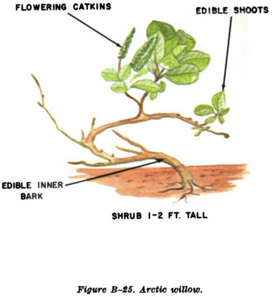 arctic willow illustration edible plants