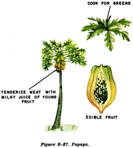 papaya tree illustration edible plants