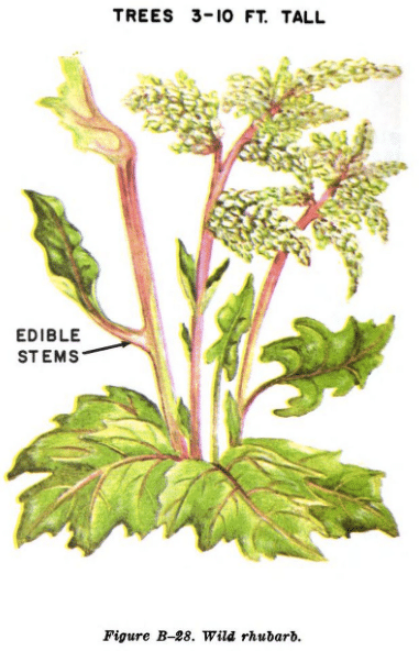 wild rhubarb illustration edible plants