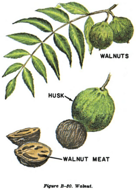 english walnut illustration edible plants
