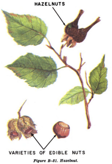 hazelnut tree illustration edible plants