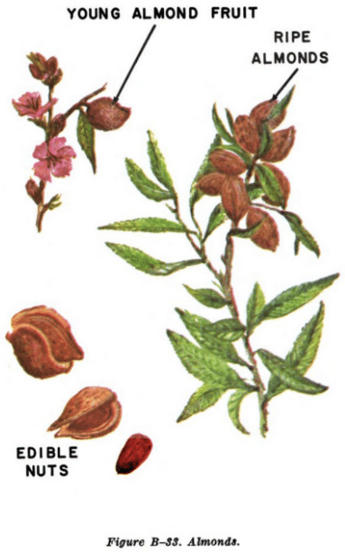 almond illustration edible plants