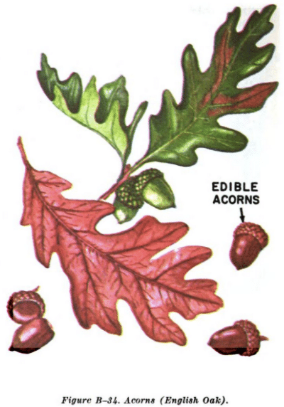 acorn english oak illustration edible plants