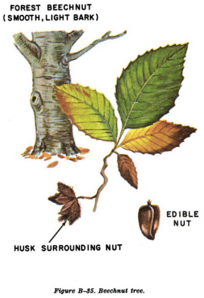 beechnut illustration edible plants