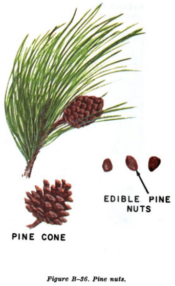 pine nut illustration edible plants