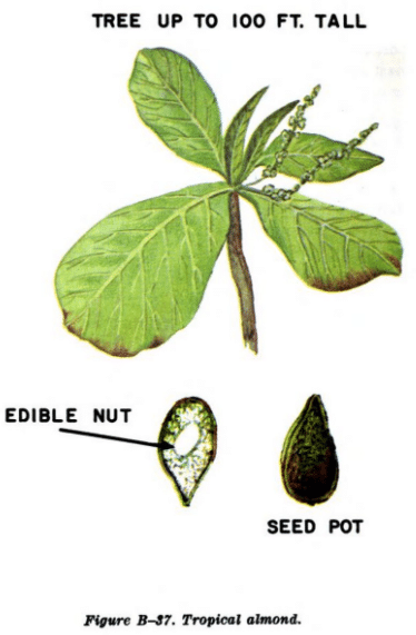 tropical almond illustration edible plants