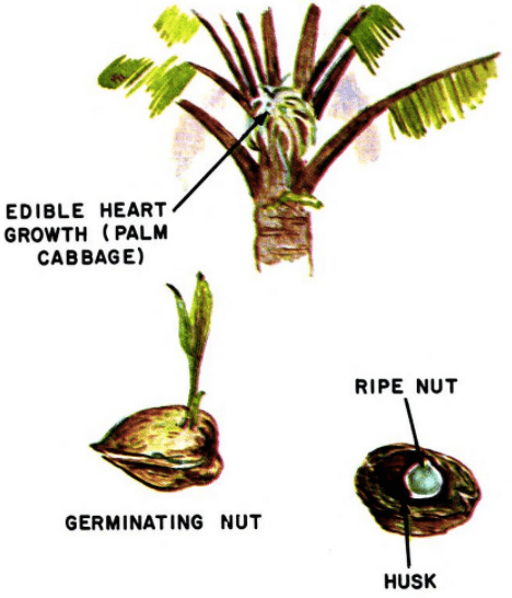 coconut tree illustration edible plants
