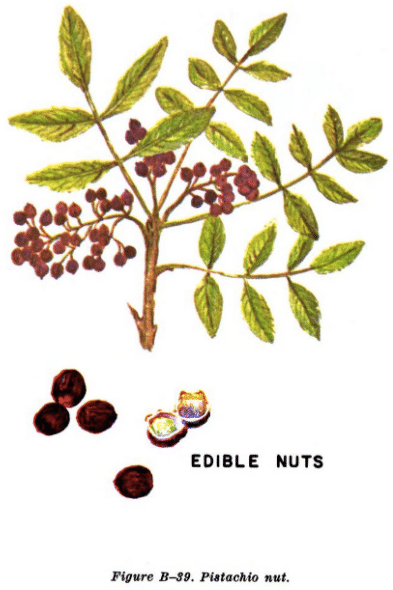 wild pistachio illustration edible plants