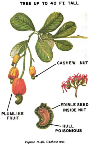 cashew nut illustration edible plants
