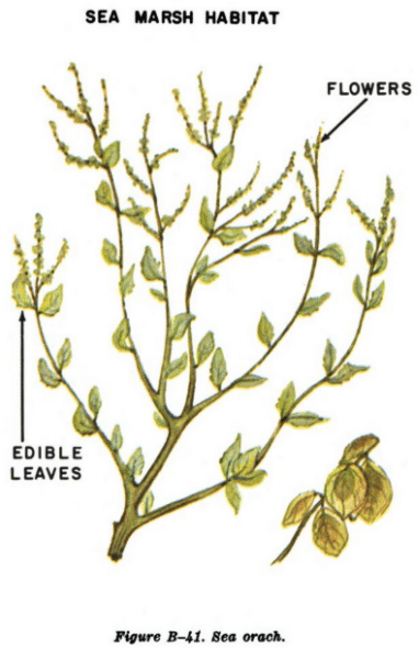 sea orach illustration edible plants