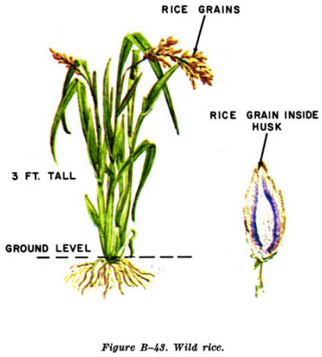 wild rice illustration edible plants