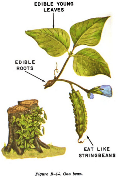 goa bean illustration edible plants