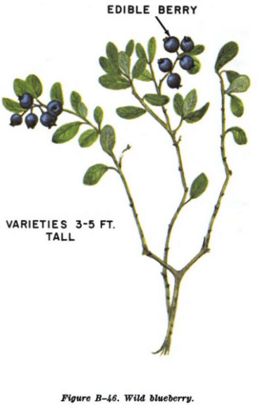 wild blueberry illustration edible plants