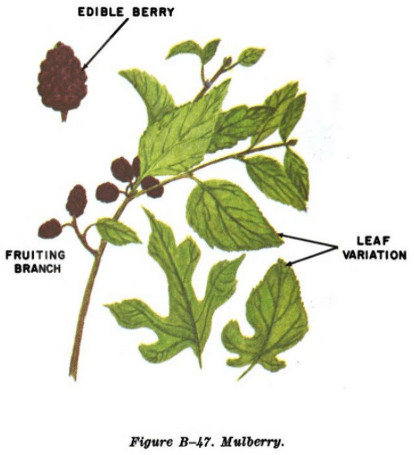 mulberry illustration edible plants