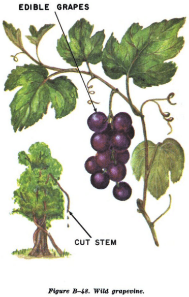 wild grapevine illustration edible plants