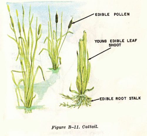 cattail illustration edible plants