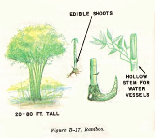 bamboo illustration edible plants