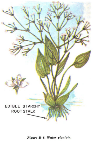 water plantain illustration edible plants