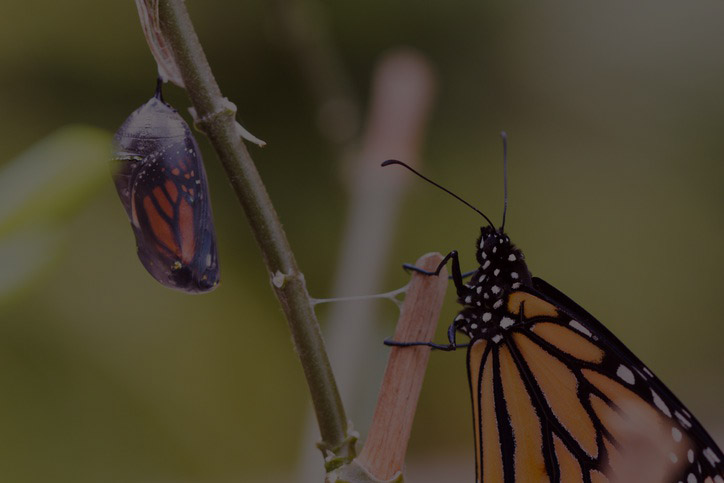 Butterfly sitting on a stem along with pupa.