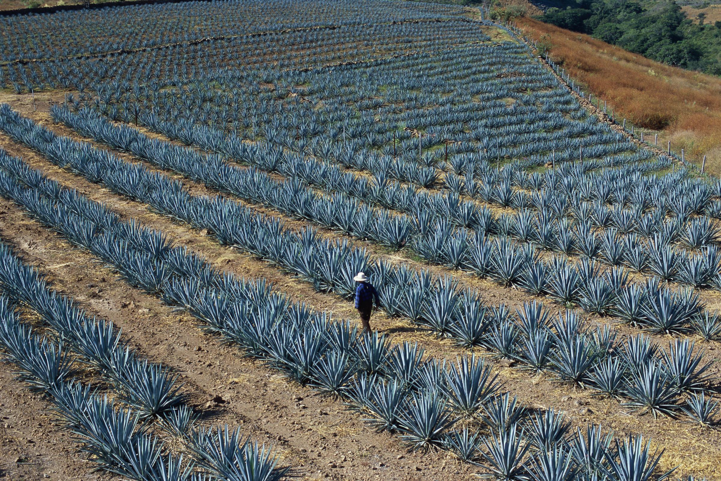 Man walking in agave plant's wide fields.