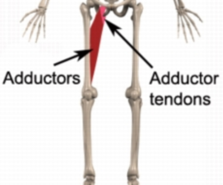 Indicating Adductor tendons in a skeleton.
