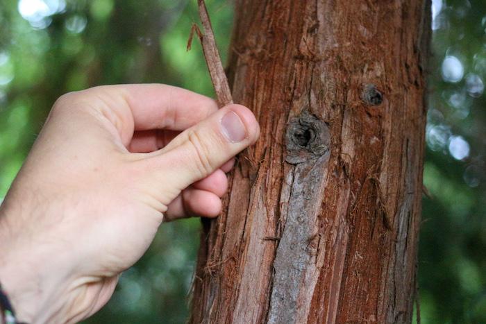 Step 2: Harvest a piece of bark from a cedar tree.
