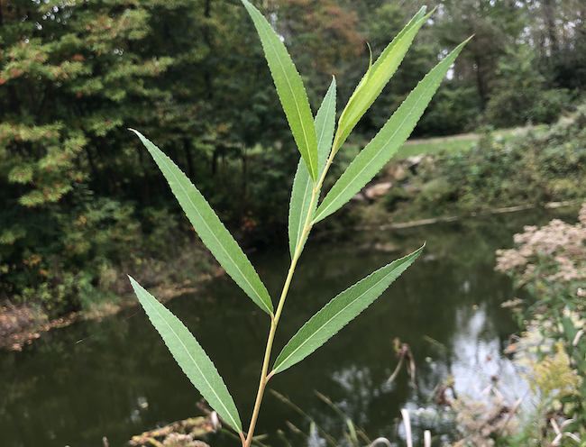 Willow leaves.