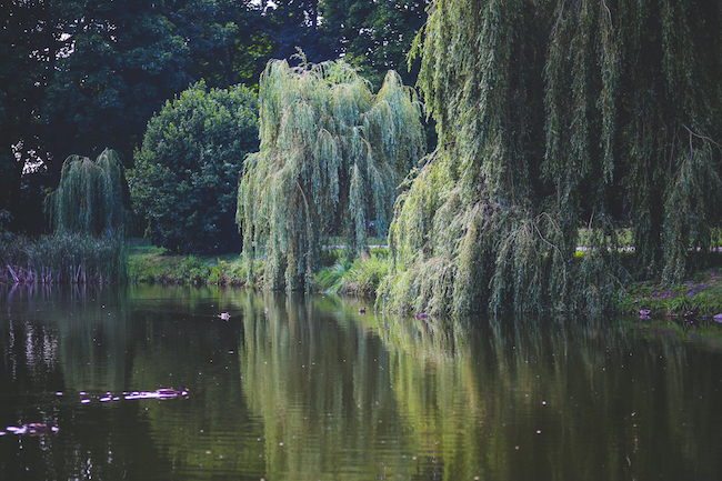 Willow tree at the pond's edge.