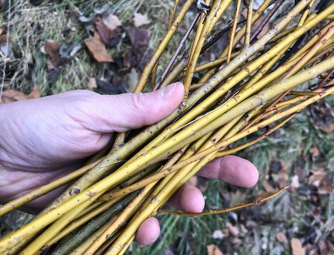 Young new-growth willow shoots harvested.