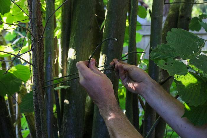 Tying together two trees with paracord.